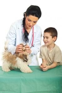 Der Shih Tzu wird gründlich beim Tierarzt untersucht.