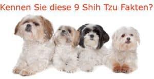 9 Shih Tzu Fakten