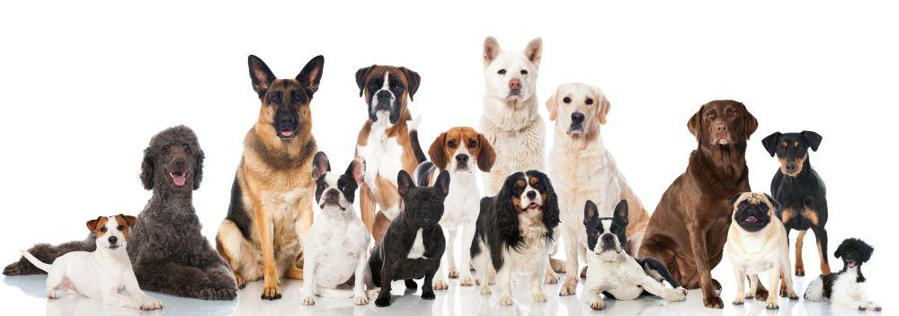 Lebenserwartung Shih Tzu im Vergleich zu anderen Hunden